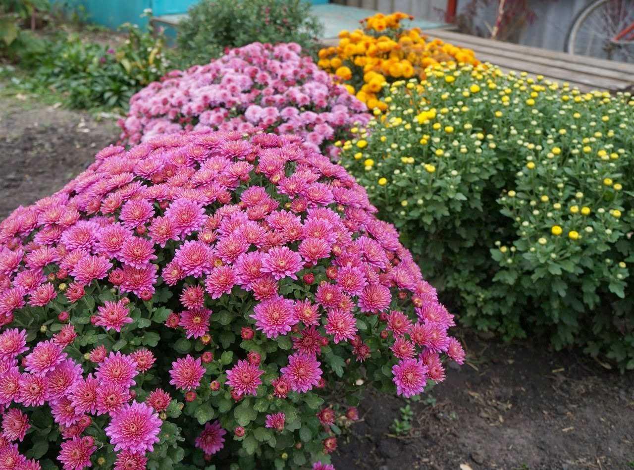 Хризантема многолетняя низкорослая: описание с фото, размножение, особенности выращивания и правила ухода