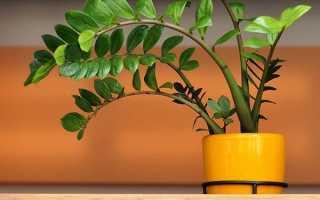 Как размножить замиокулькас в домашних условиях