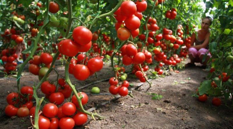 Правильное применение популярных комплексных удобрений для томатов