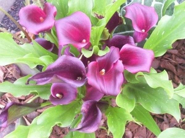 Цветок калла (зантедеския)
