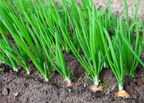 В погоне за большим урожаем: пошаговая технология посадки лука китайским способом