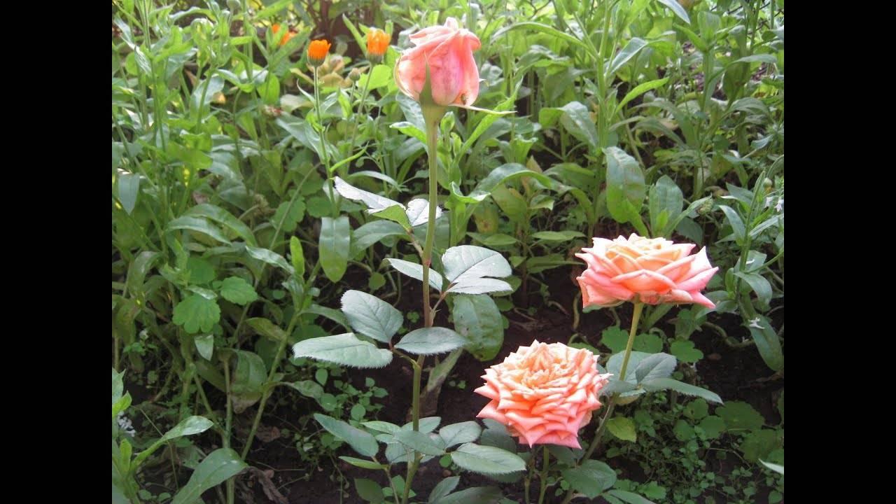 Укрытие розы на зиму: пошаговая инструкция