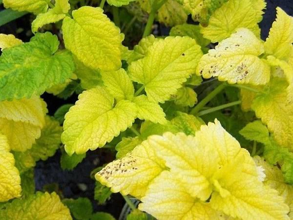 Мелисса лекарственная лимонная выращивание из семян когда сажать посадка и уход в открытом грунте