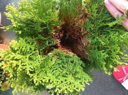 Чего стоит опасаться при выращивании туи? болезни и вредители туи