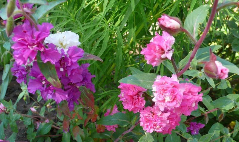 Выращивание кларкии из семян в домашних условиях: изящный цветок на вашей клумбе