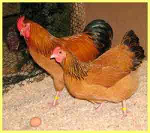 Здоровье кур в домашних условиях и 5 подсказок, чтобы куры не болели