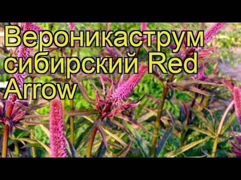 Растение лаконос (фитолакка американская): описание, посадка и уход