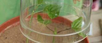 Как размножать гортензию весной черенкованием