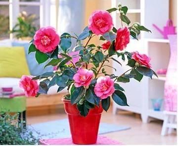Комнатное растение камелия: фото цветка, уход в домашних условиях, выращивание восточного кустарника, похожего на розу