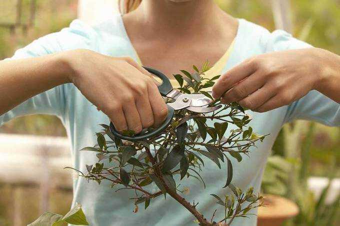 Размножаем азалию черенками: секреты удачного укоренения