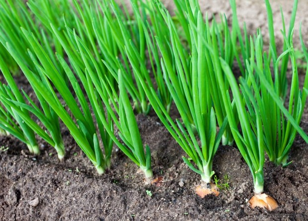 Чем полезен зеленый лук для человека — витамины и минералы в составе, калорийность и противопоказания