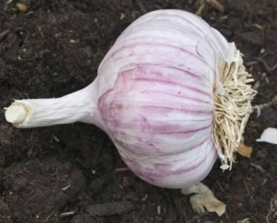 Гигантский лук-чеснок рокамболь: посадка, выращивание и уход
