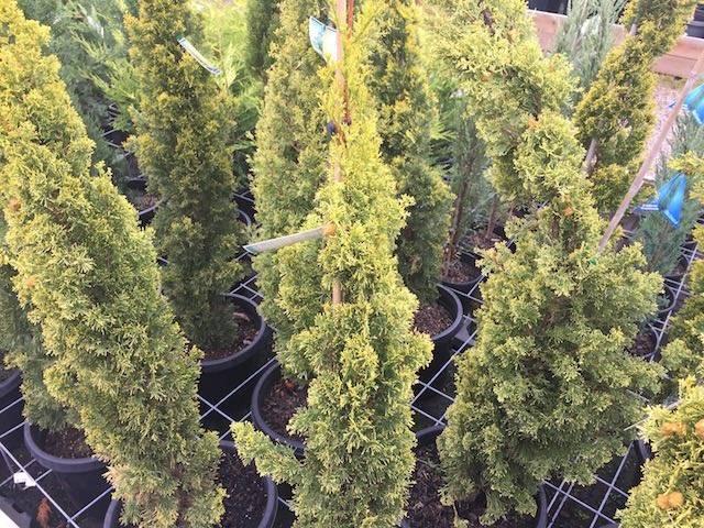 Кипарис летний или кохия, выращивание и размножение