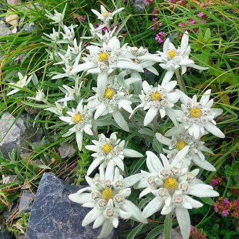 Основные виды эдельвейса для вашего сада (описание и фото)