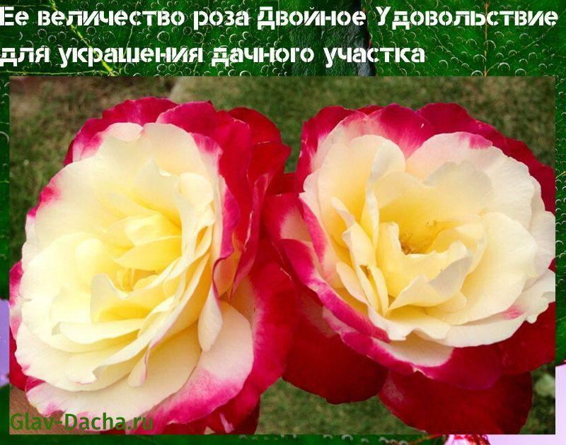 Роза Двойное Удовольствие - фото и описание сорта, посадка, уход