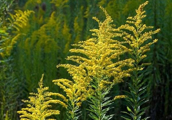 Амброзия полыннолистная – фото растения, как выглядит, виды, борьба с амброзией, штрафы, когда и где цветет амброзия