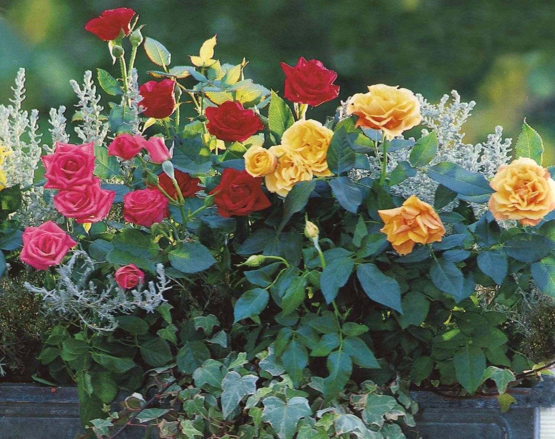 Правильный уход за розами осенью (в сентябре, октябре и ноябре): подготовка и уход за кустами роз перед зимовкой