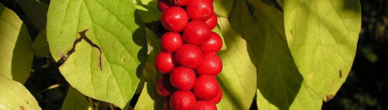 Лимонник посадка и уход, особенности выращивания в подмосковье