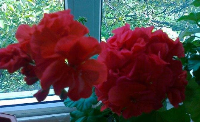 Выращивание абутилона из семян в домашних условиях