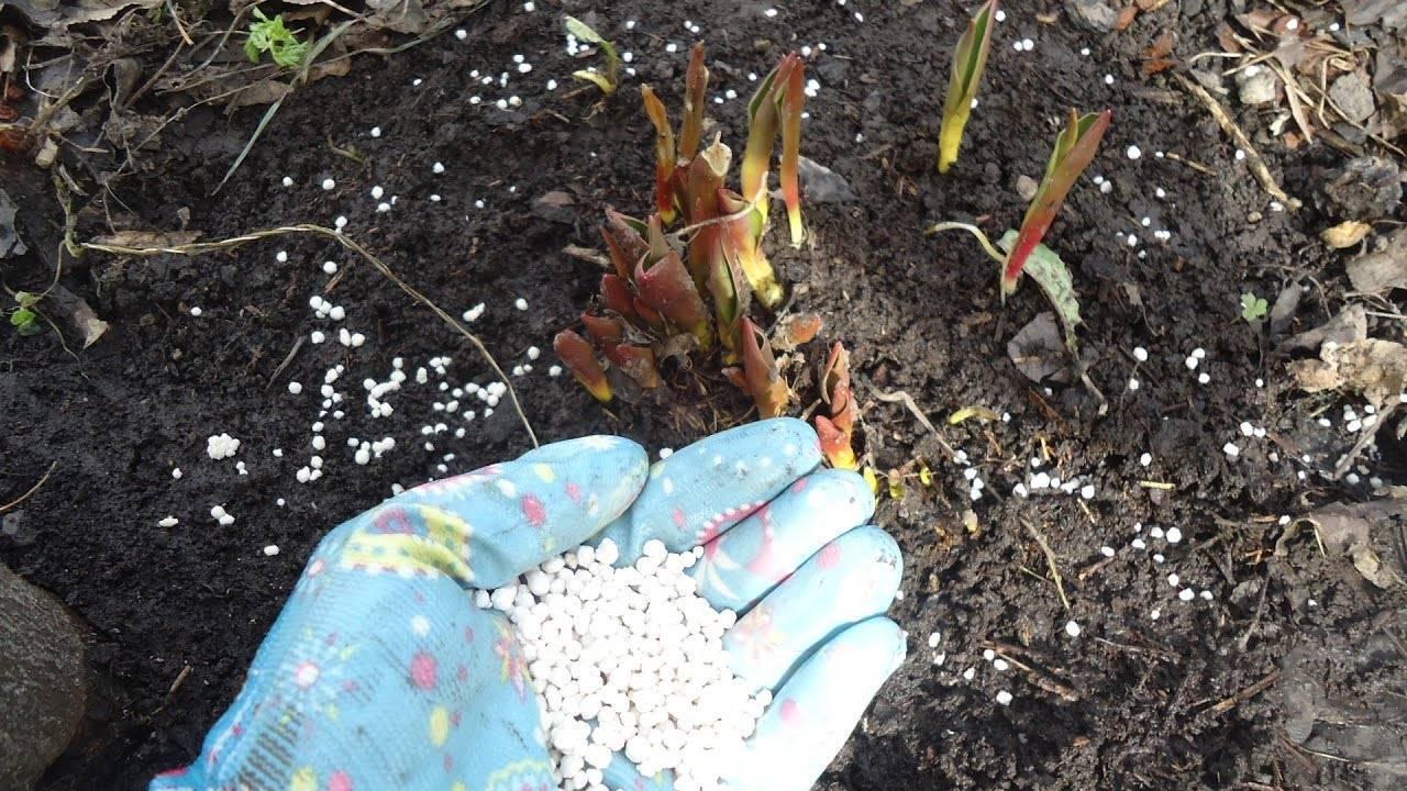 Как выращивать тюльпаны: посадка, выгонка и уход в теплице