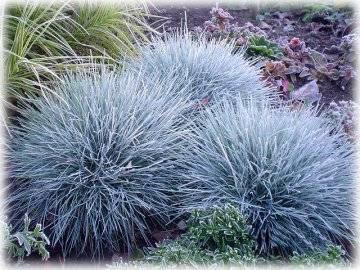 Как садить овсяницу. овсяница посадка и уход в открытом грунте выращивание из семян фото разновидностей