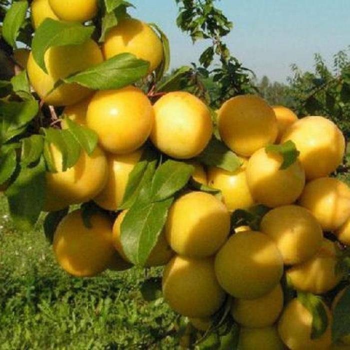 Слива ренклод тамбовский — описание сорта, фото, отзывы садоводов