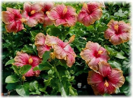 Гибискус садовый: красота и польза в одном растении!