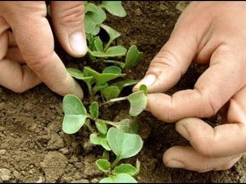 Редис: посадка и уход в открытом грунте, выращивание из семян
