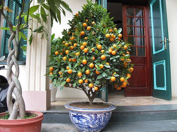 Описание кумквата: что это за фрукт, каковы его польза и вред, возможно ли выращивание в домашних условиях?
