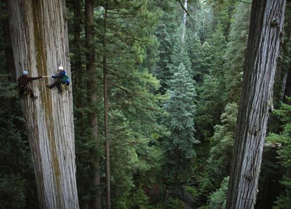 Секвойя (sequoia) гигантская вечнозеленая