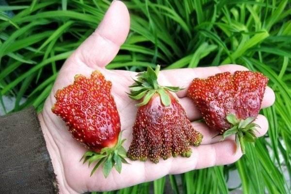 Земклуника «купчиха»: описание сорта, выращивание, уход