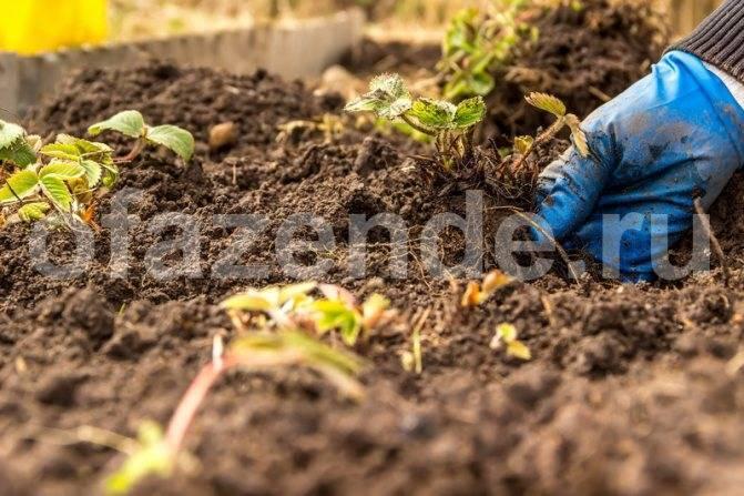 Кукуруза сахарная — как вырастить, чтобы получить хороший урожай, видео