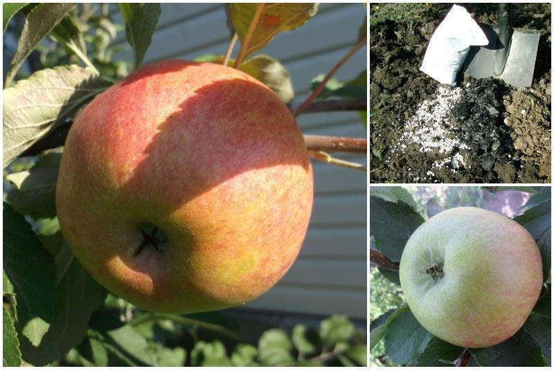 Уход, подкормка, формирование кроны, фото и описание яблони медуницы + видео