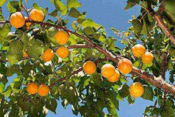 Абрикосовое дерево из косточки: выращиваем самостоятельно