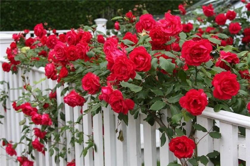 Комнатная роза: правила ухода, пересадки и размножения в домашних условиях