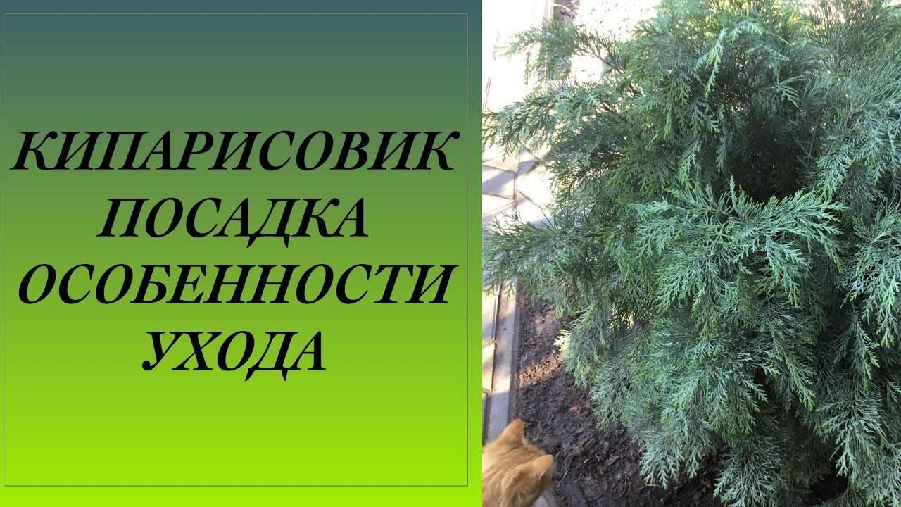 Кипарисовик: виды, правила посадки и особенности ухода