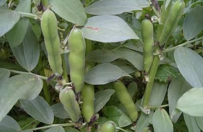 Особенности выращивания бобов из семян в открытом грунте: посадка, уход, уборка урожая