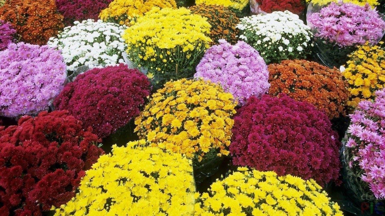 Шаровидная хризантема — китайская, низкорослая, уход и выращивание