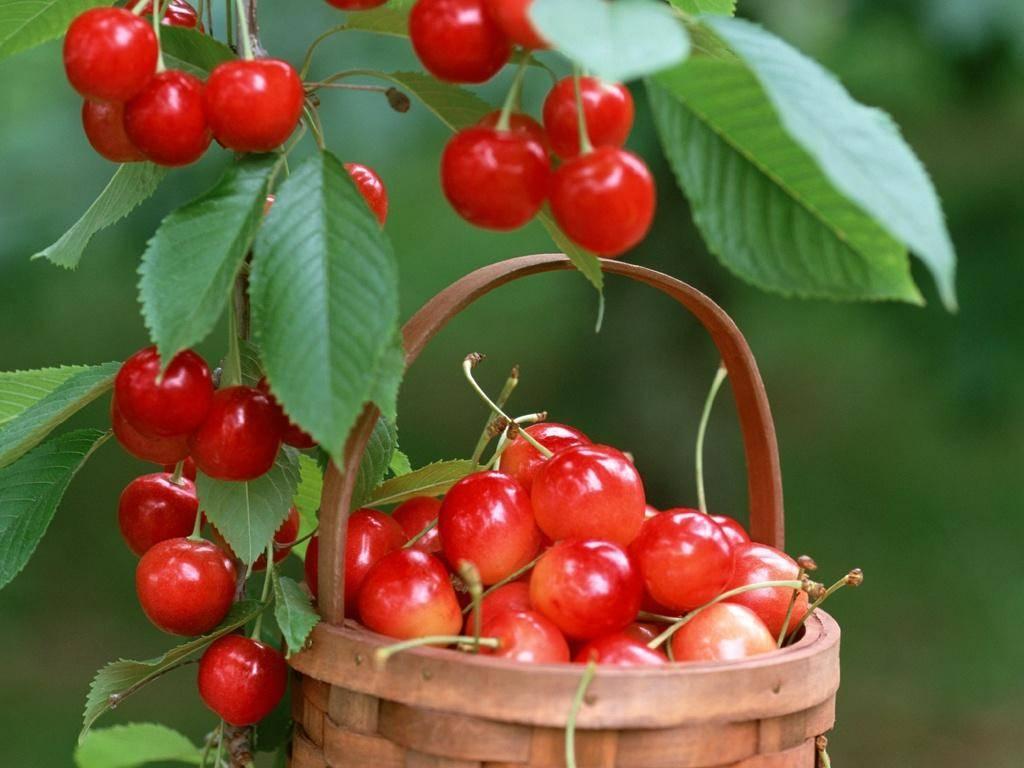 Как правильно прививать черешню летом молодыми зелеными веками, способы, сроки и уход