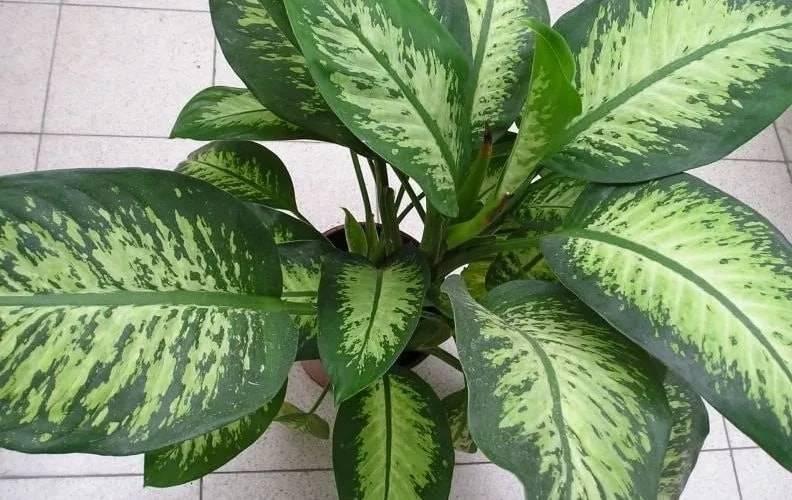 Почему болеет и не растет диффенбахия: желтеют листья. вредители диффенбахии