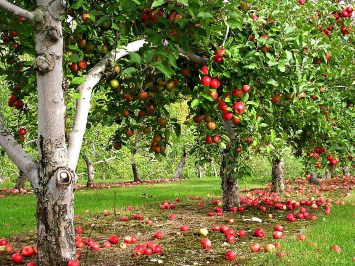 Польза яблок: не слишком ли она преувеличена?