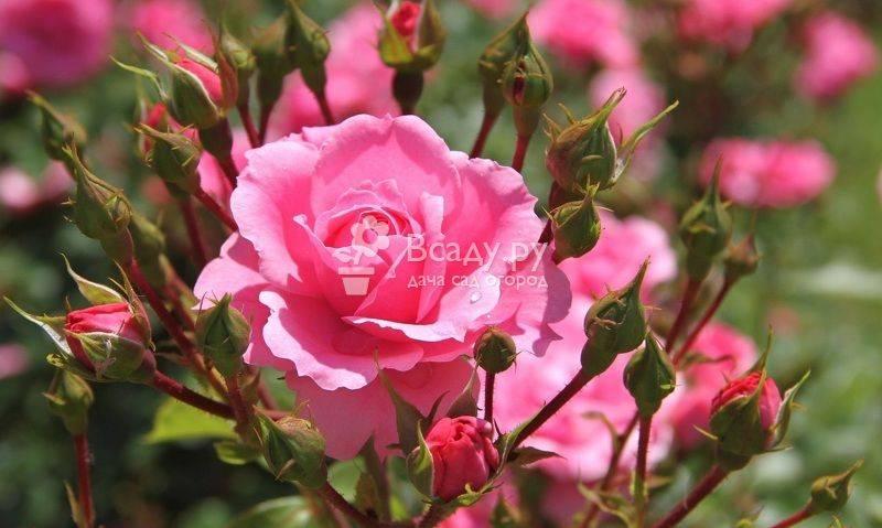 Размножение роз черенками в домашних условиях: способы, выращивание