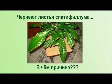 Почему желтеют листья у спатифиллума и что с этим делать?