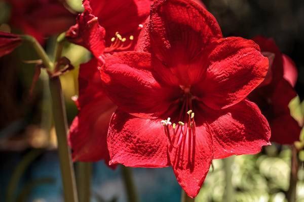 Красавец из африки или амариллис: посадка растения и уход за ним в домашних условиях