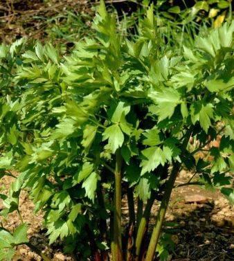 Выращивание любистка в открытом грунте или в горшке, видео