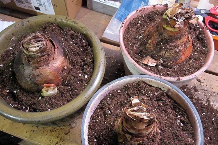 Сажаем луковицы амариллиса: три варианта, как это можно сделать