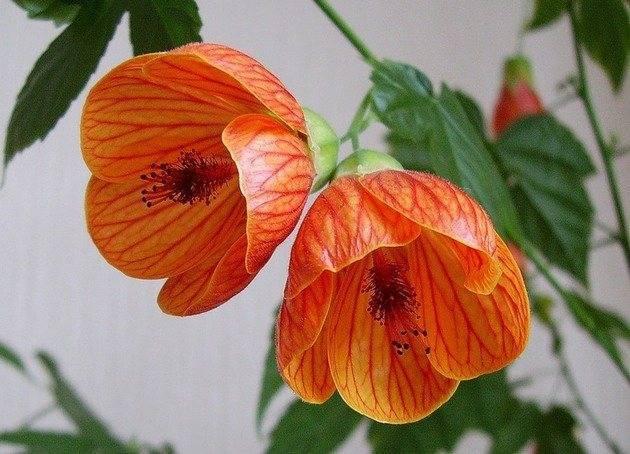 Как в домашних условиях получить абутилон из семян