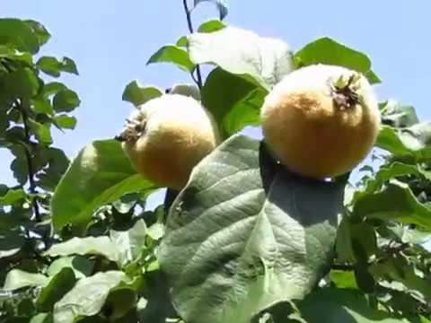 Срываем айву: когда и как хранить урожай