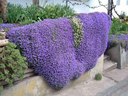 Цветы обриета