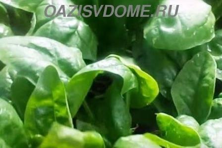Выращивание шпината и уход за ним в открытом грунте